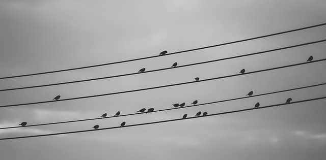 Birds sitting on electrical wires