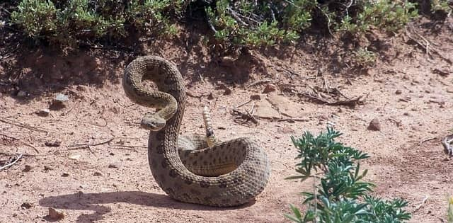 rattle snake in a striking pose